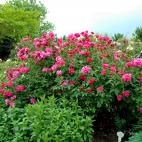 Rosier Arbuste Monte Cristo