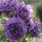 Rosier buisson violet Minerva