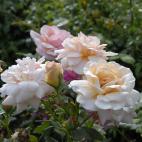 Rosier buisson Gruss An Coburg
