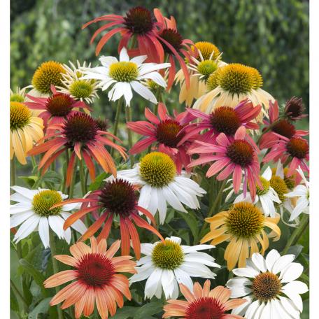 Echinacea purpurea Cheyenne Spirit