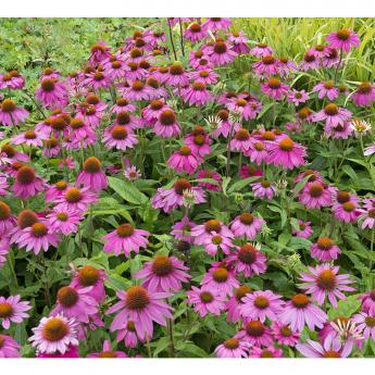 Echinacea purpurea Pow Wow Wild Berry