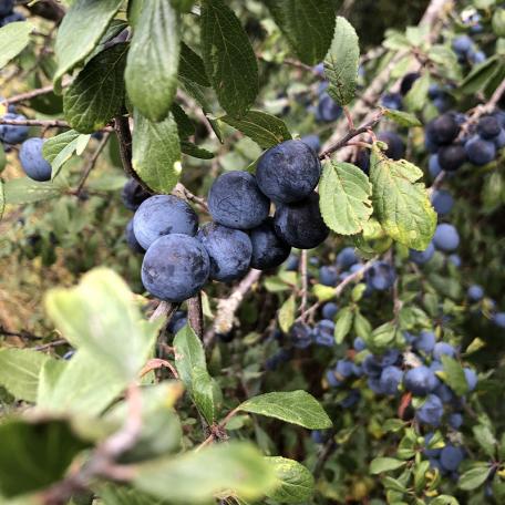 Myrtille Blue Crop