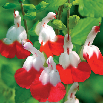 Salvia grahamii Hot Lips