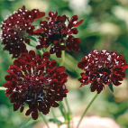 Scabiosa atropurpurea Chile Black