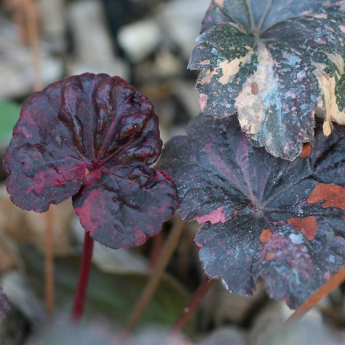 Heuchera Midnight Rose®