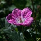 vivace Geranium sanguineum Elke