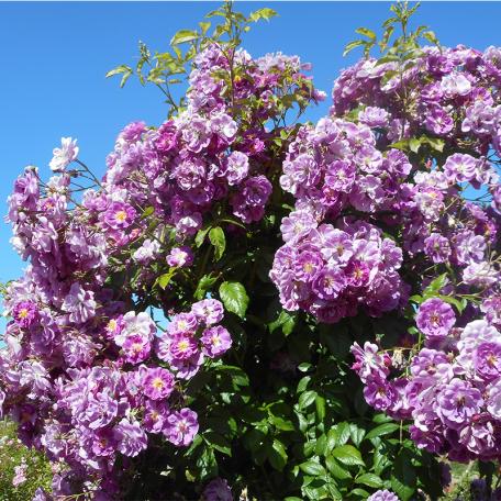 Purple Skyliner® Franwekpurp