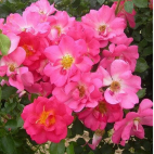 Rose Bonbon® 'Evefrais' Tige