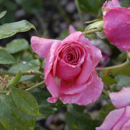 Rosier buisson Frederik Mey