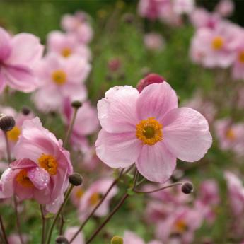 Anemone hupehensis (rose spl)