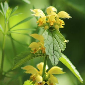 Lamium galeobdolon Florentinum