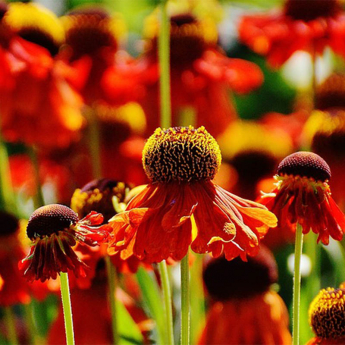 Vivace Echinacea Sunseekers Orange Apecssior