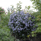 Aster dumosus Lady in Blue