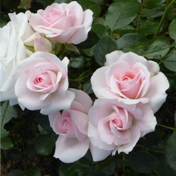 Aspirin® Rose 'Taniripsa'