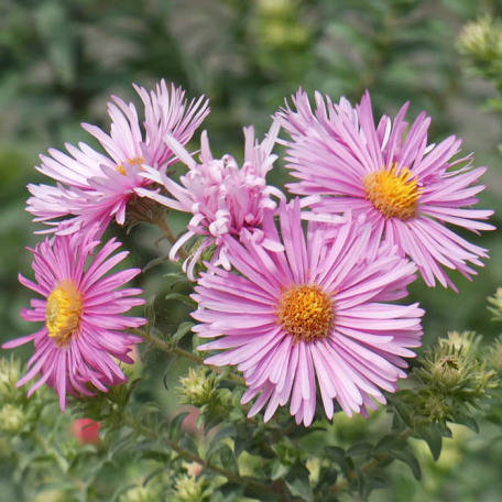 Aster Pink Star