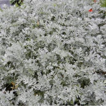 Vivace Artemisia absinthium Lambrook Silver