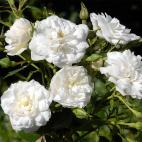 Rosier buisson blanc Denise Cassegrain