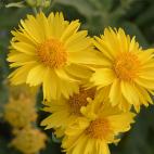 Vivace Gaillarde Mesa Yellow