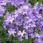 Vivace violet Campanula poscharskyana