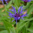 vivace bleu Centaurea montana