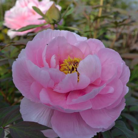 Pivoine Tamafuyou rose
