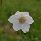 Anemone blanche sylvestris