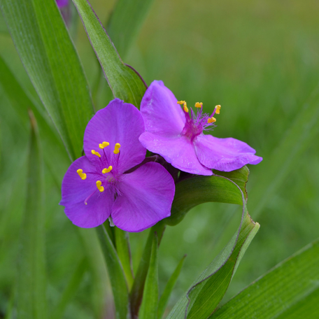 Vivace violet Tradescantia Valour