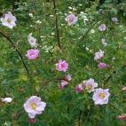Rosier rose R. carolina