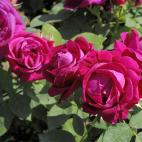 Rosier rose Tom Wood