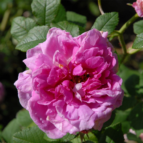 Rosier arbuste rose Belle Virginie