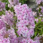 Vivace bicolore Phlox maculata Natasha