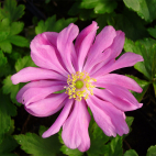 Anemone rose hybride Pamina
