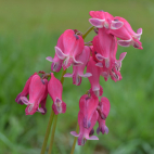Dicentra formosa King of hearts vivace rose