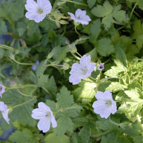 Geranium blanc versicolor