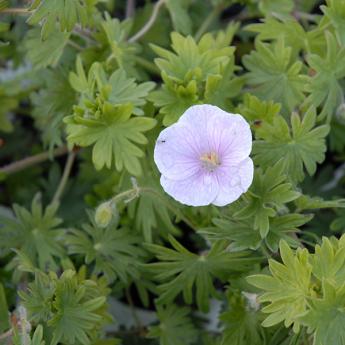 Géranium sanguineum Vision Pink