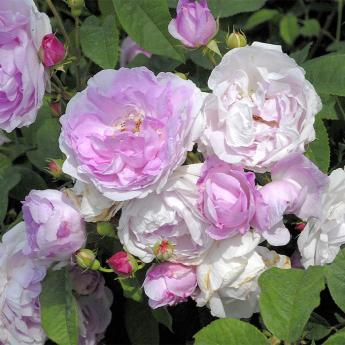 La Noblesse rosier arbuste