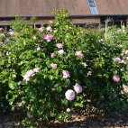 Jubilé Impérial rosier rose