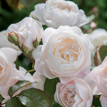 Desdemona rosier arbuste blanc