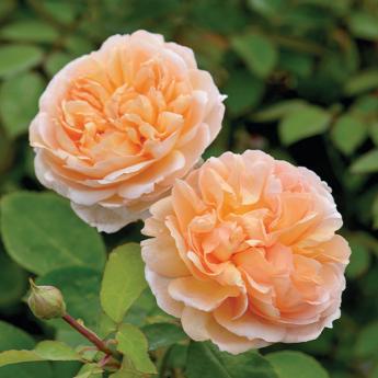 The Lady Gardener® Ausbrass