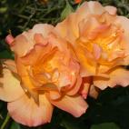 Rosier Arbuste orange
