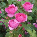 Rosier buisson rose vif Toul