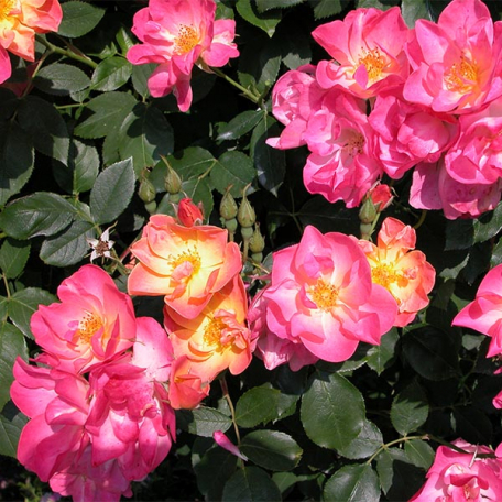 Rosier LIane rose jaune Suzon
