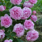 Rosier Arbuste André Eve le jardinier des Roses