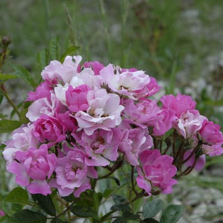 Gloire d'Orléans rosier buisson rose