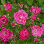 Le Loiret rosier buisson petites fleurs
