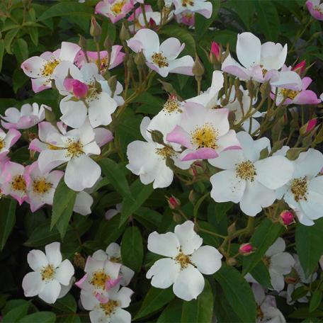 Lyda Rose rosier arbuste
