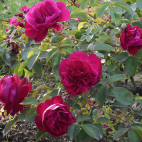 Rosier arbuste Mme Philippe Plantamour