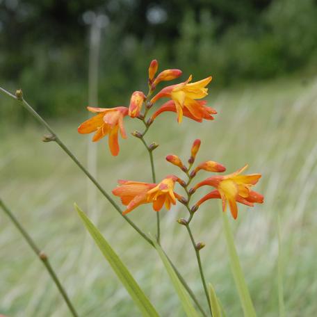 Crocosmia Norwich Canary plante vivace