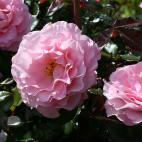 Jean Carles® Evepiweet rosier buisson très parfumé