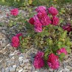 Tess of D'uberville rosier buisson